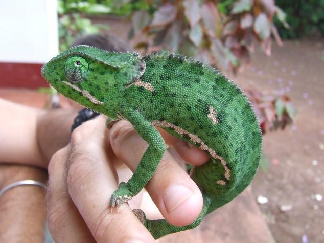 Chameleon, Moshi Tanzania