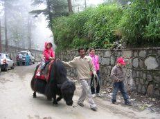 Riding a yak