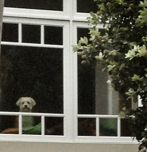 Dog waiting for owners to get home