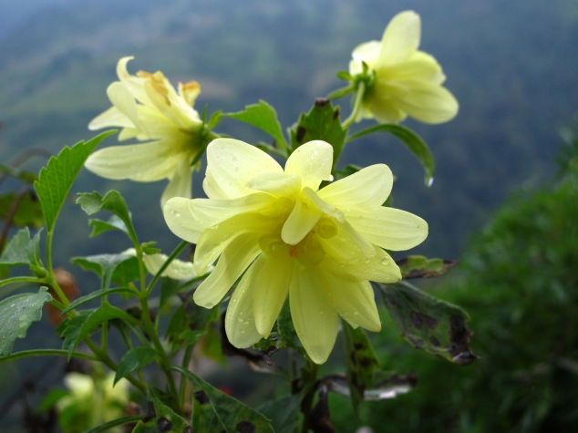 Flowers in Nepal;