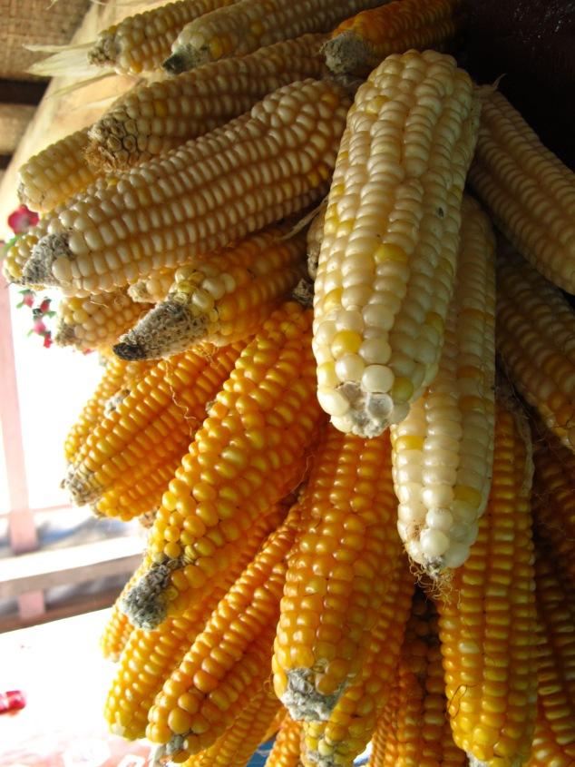focus, corn, Nepal